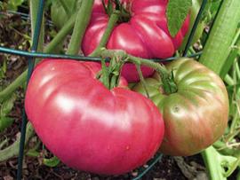 Marizol Purple