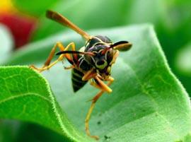 Dancing Wasp