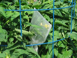 Tomato cage with bagged tomato blossom