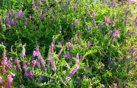 Hairy Vetch Flowers